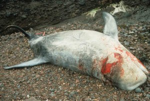 Stranded Risso's dolphin
