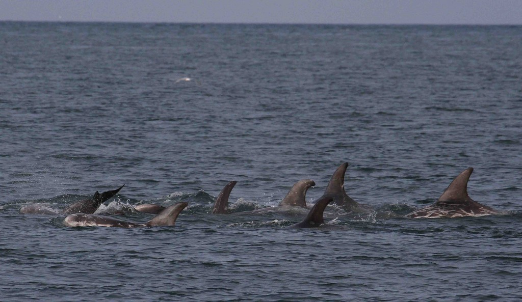Some of the many Risso's dolphins in Bull Bay, North Anglesey. Photo ... Octopus Blunt